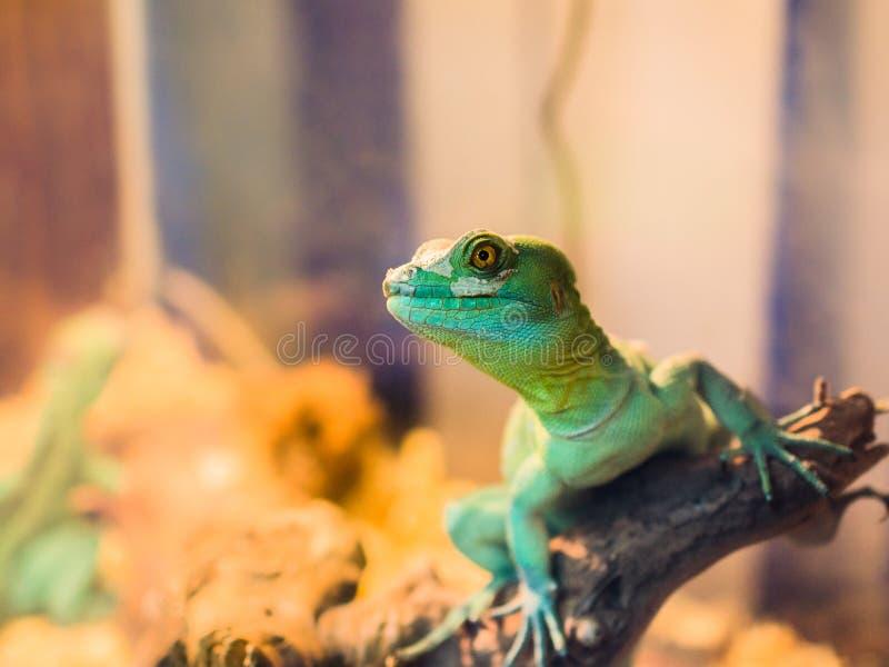 Reptil ist der gemeine Basilisk, der auf einem Baum an einem Haustierspeicher sitzt stockbild