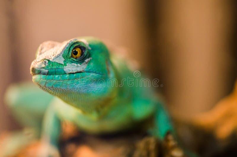 Reptil ist der gemeine Basilisk, der auf einem Baum an einem Haustierspeicher sitzt stockbilder