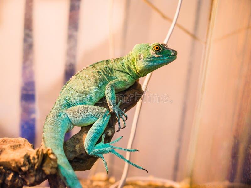 Reptil ist der gemeine Basilisk, der auf einem Baum an einem Haustierspeicher sitzt lizenzfreies stockfoto