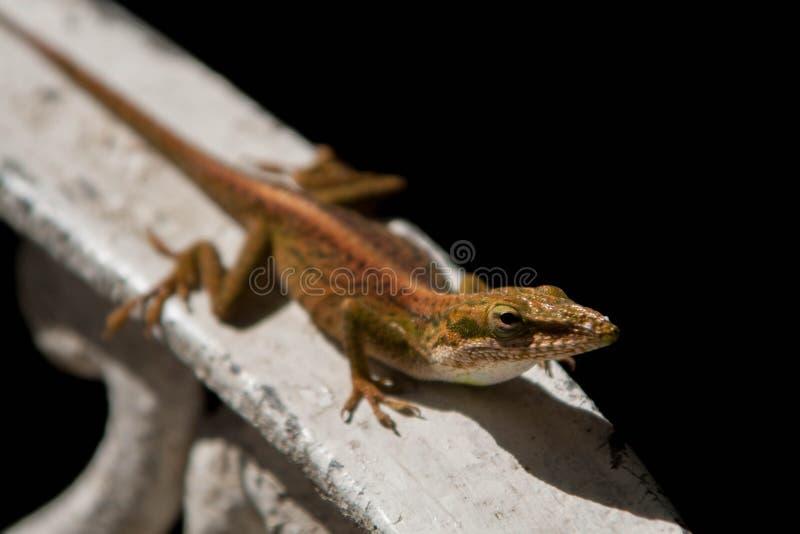 Reptil verde común en todas las casas del mundo fotografía de archivo libre de regalías
