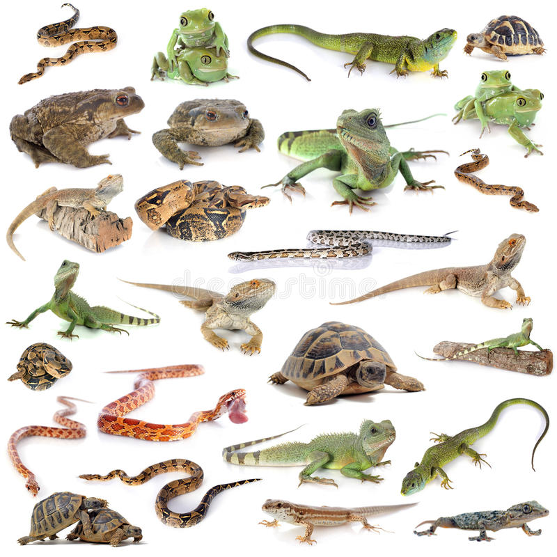 Free Reptile And Amphibian Stock Images - 42279934