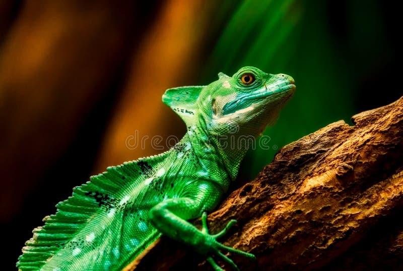 Reptile, Chameleon, Lizard, Iguania stock images