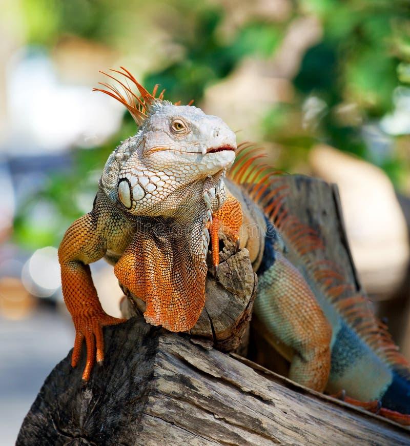Reptile d'iguane image libre de droits