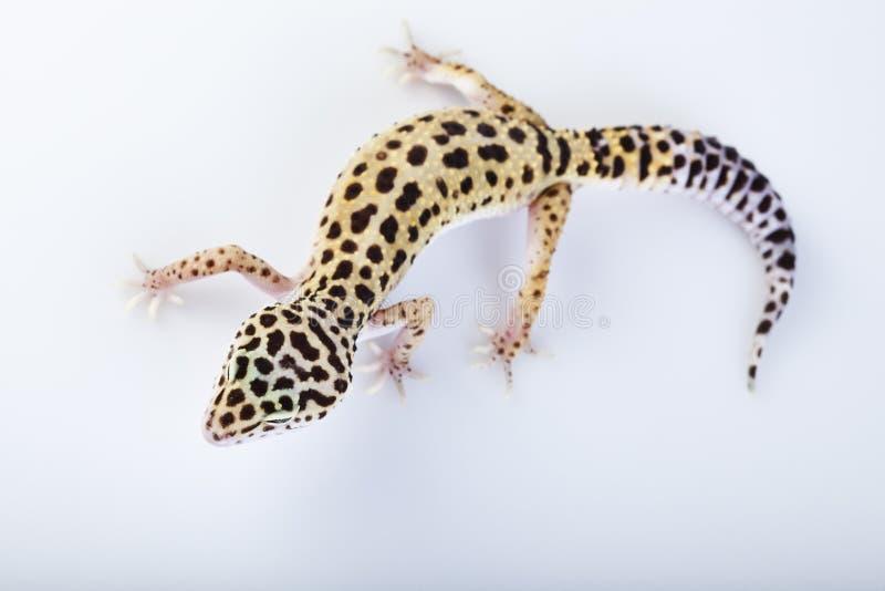 Reptile de Gecko photos libres de droits