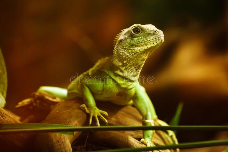 Reptile, Fauna, Lizard, Scaled Reptile stock photos