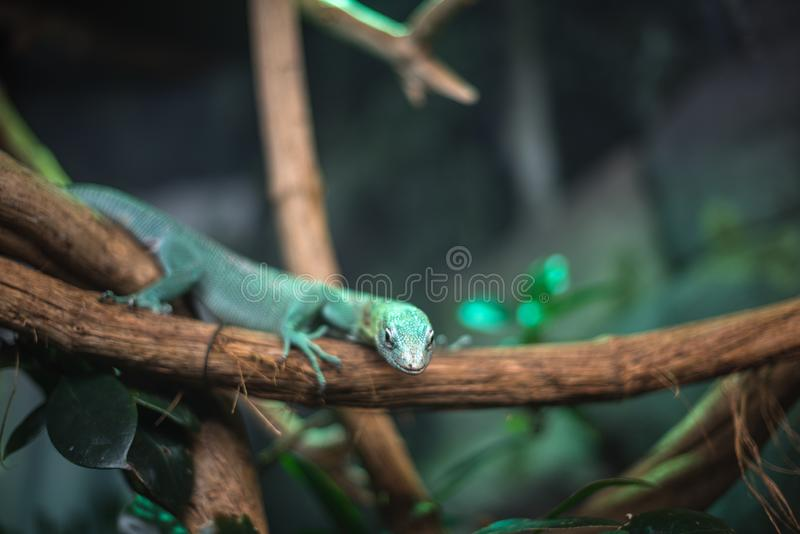 Reptile green blue on branch aquarium pet zoo home cute lizard head tongue eyes look walk exotic rare species. Reptile green blue on branch aquarium pet zoo home royalty free stock image