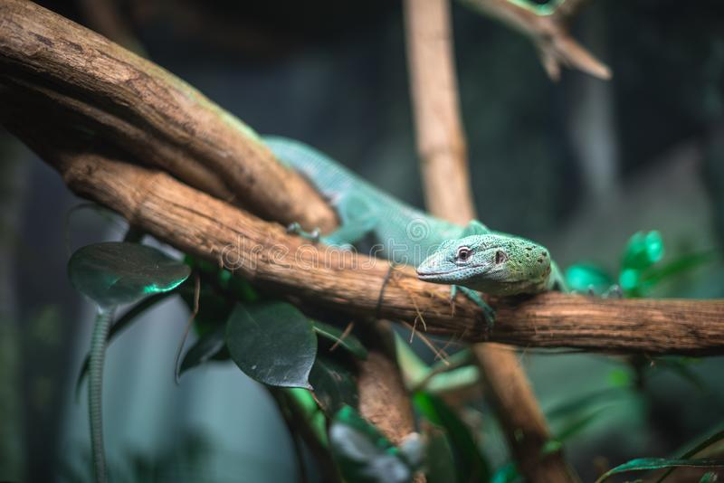 Reptile green blue on branch aquarium pet zoo home cute lizard head tongue eyes look walk exotic rare species. Reptile green blue on branch aquarium pet zoo home royalty free stock images
