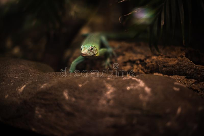 Reptile green blue on branch aquarium pet zoo home cute lizard head tongue eyes look walk exotic rare species dark brown. Yellow royalty free stock photo