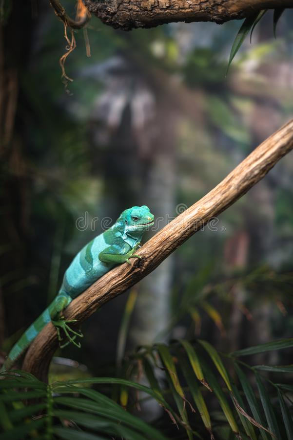 Reptile green blue on branch aquarium pet zoo home cute lizard head tongue eyes look walk exotic rare species. Reptile green blue on branch aquarium pet zoo home stock images