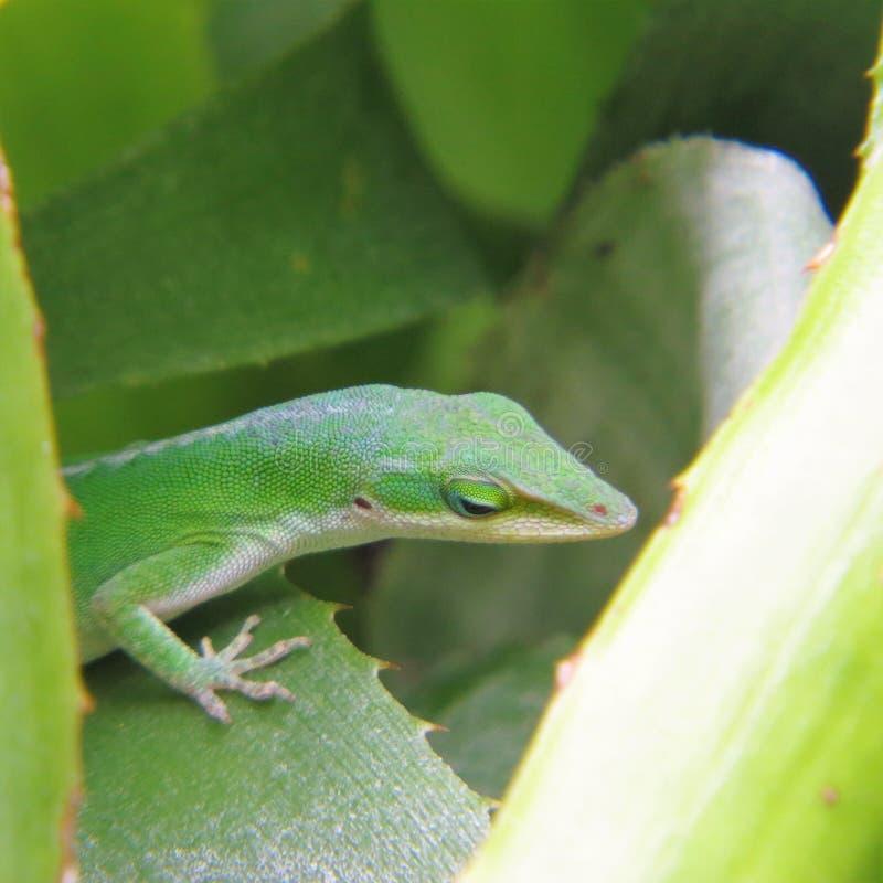 Reptile, Green, Lizard, Lacertidae stock photos