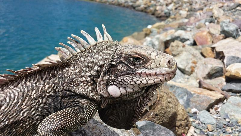 Reptile Iguana Lizard stock photo