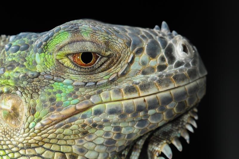 Reptile, Iguana, Scaled Reptile, Fauna stock images