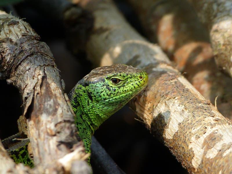 Reptile, Lacerta bilineata in the Sun royalty free stock image