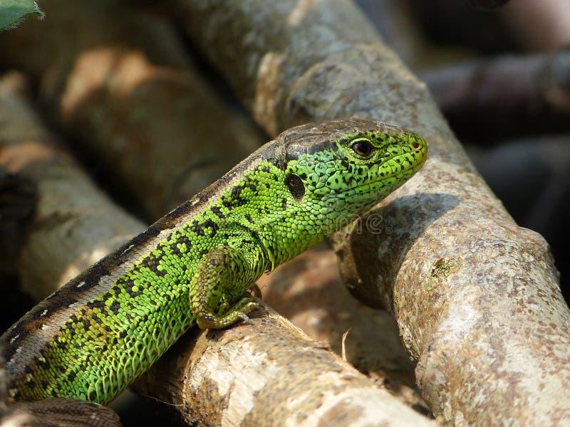 Reptile, Lacerta bilineata in the Sun stock photo