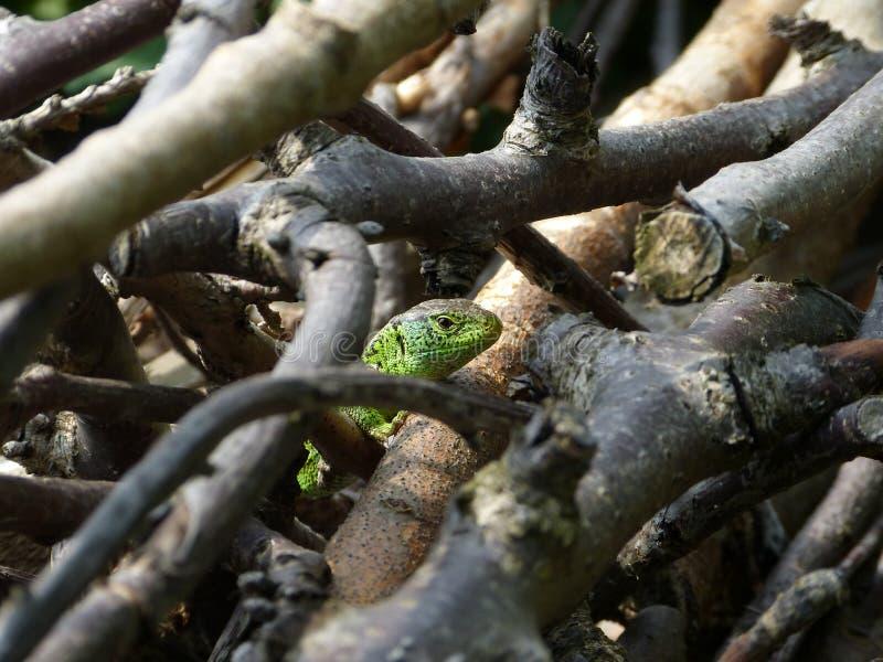 Reptile, Lacerta bilineata in the Sun royalty free stock photos