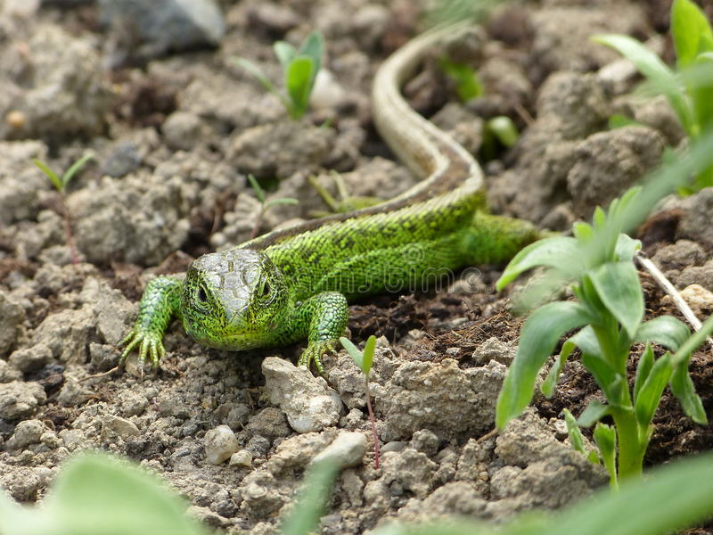 Reptile, Lacerta bilineata in the Sun royalty free stock photography