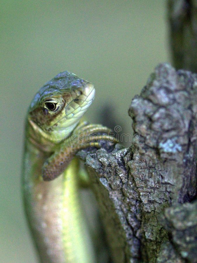 Reptile, Lacertidae, Lizard, Lacerta royalty free stock photos