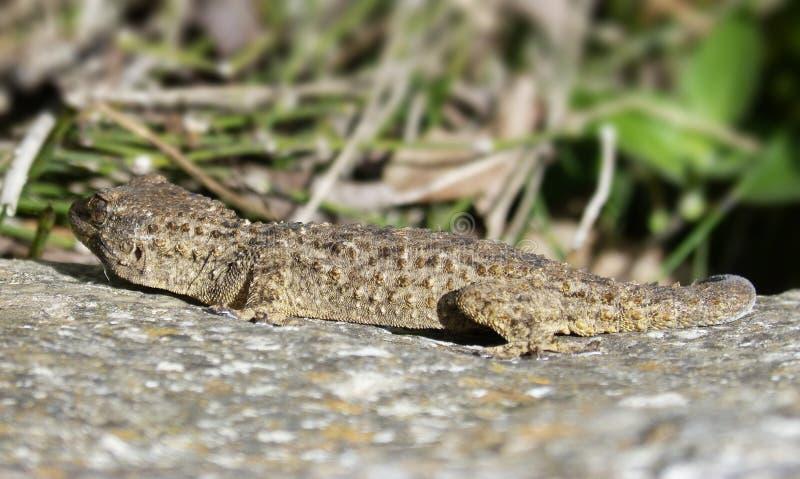 Reptile, Lizard, Fauna, Lacertidae Free Public Domain Cc0 Image