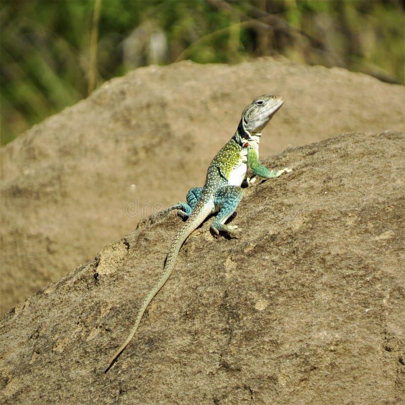 Reptile, Lizard, Lacertidae, Fauna stock photo