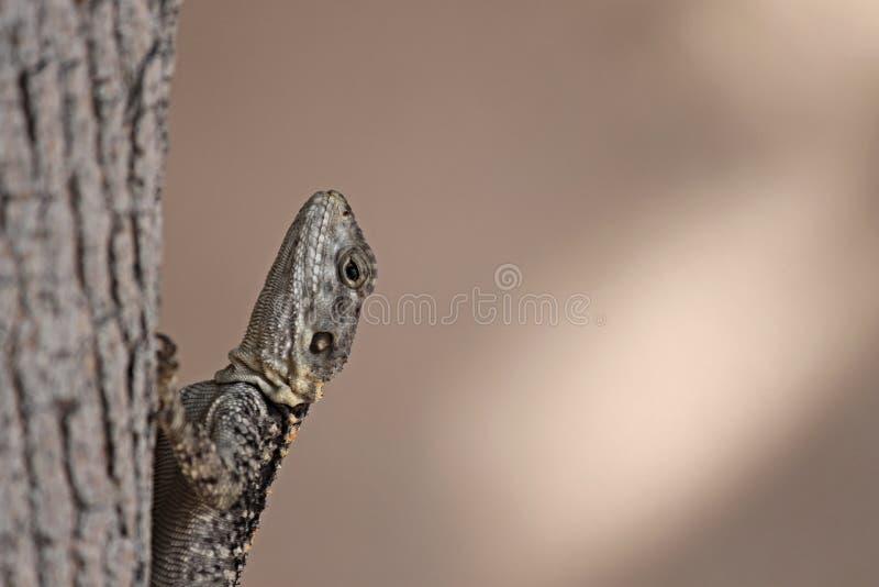 Reptile, Lizard, Scaled Reptile, Close Up
