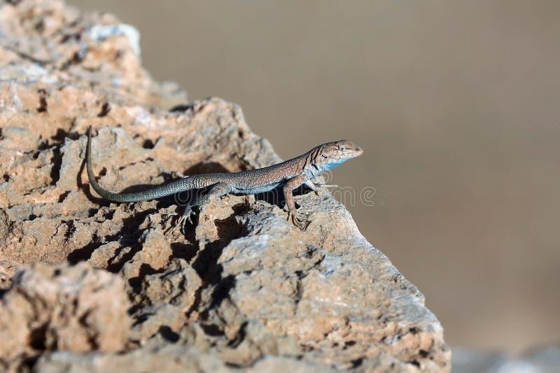 Reptile, Lizard, Scaled Reptile, Fauna royalty free stock image