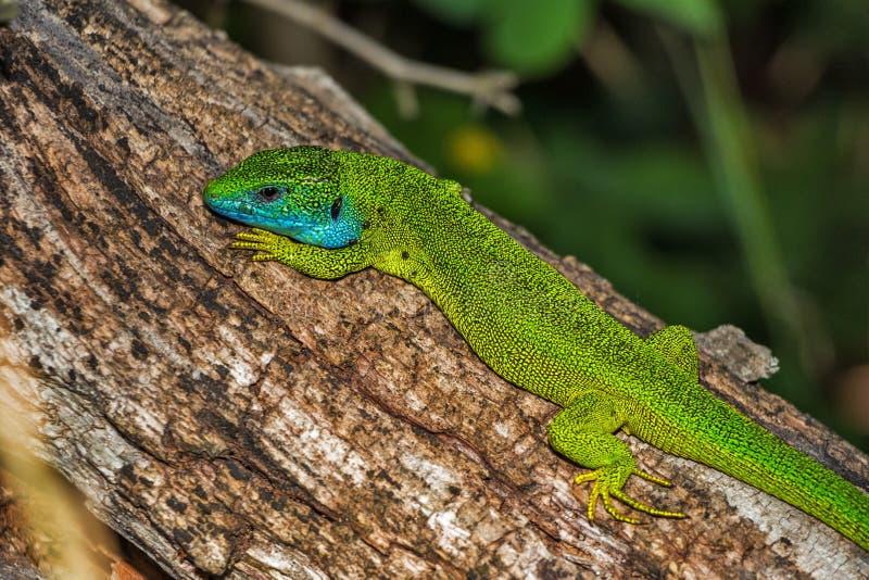 Reptile, Lizard, Scaled Reptile, Lacertidae stock images