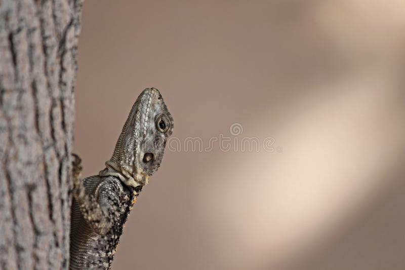 Reptile, Lizard, Scaled Reptile, Close Up stock photography