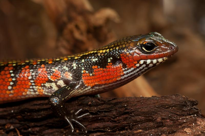 Reptile, Lizard, Scaled Reptile, Terrestrial Animal stock photography