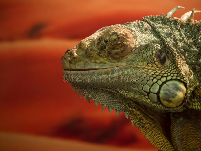 Iguana lizard close up. Reptile on an orange background. stock photography