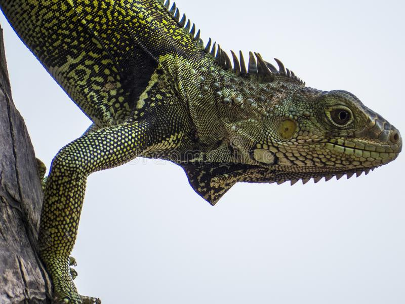 Reptile, Scaled Reptile, Lizard, Fauna stock photography