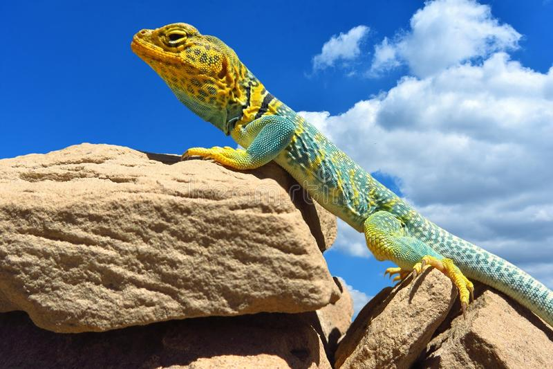 Reptile, Scaled Reptile, Lizard, Fauna royalty free stock photography