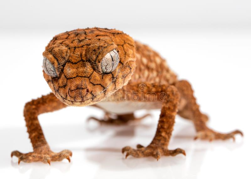 Reptile, Scaled Reptile, Lizard, Gecko stock images