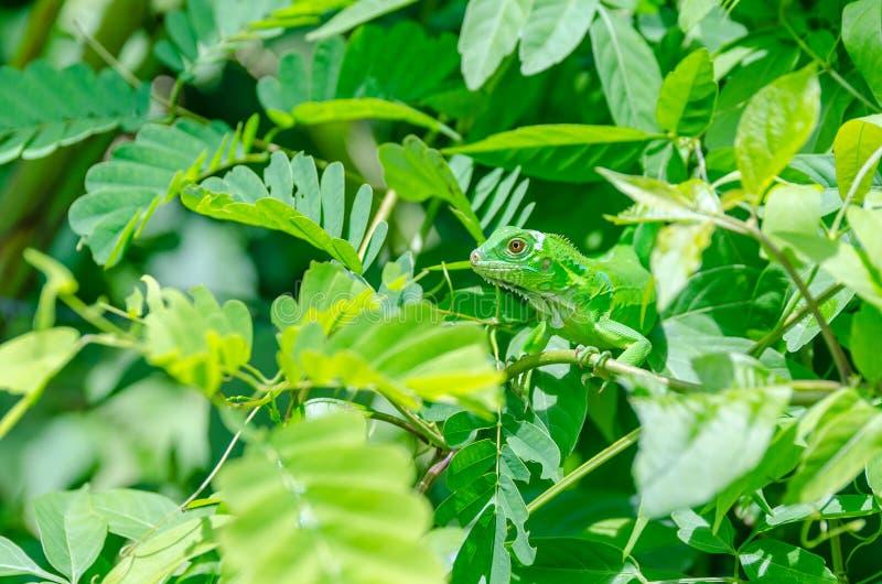 Reptile se cachant dans les feuilles image stock