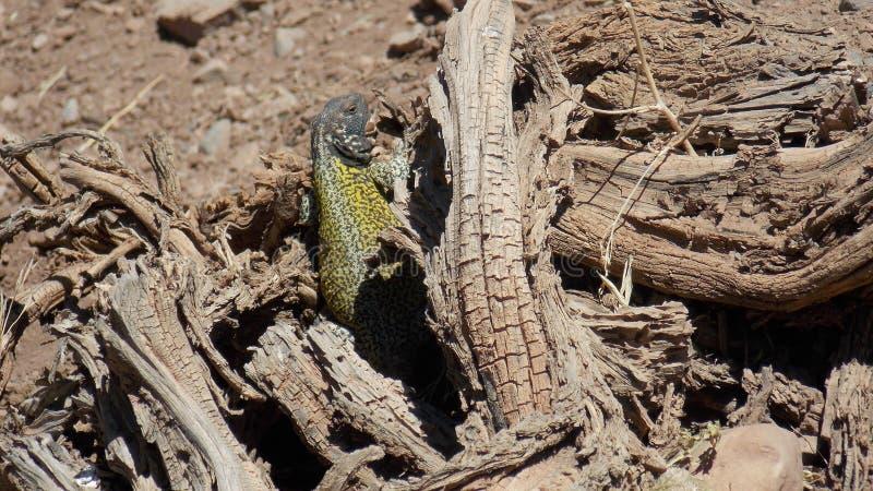 Reptile taking a sunbath royalty free stock photos