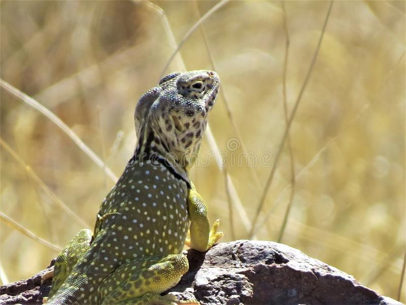 Reptile, Terrestrial Animal, Scaled Reptile, Fauna stock image