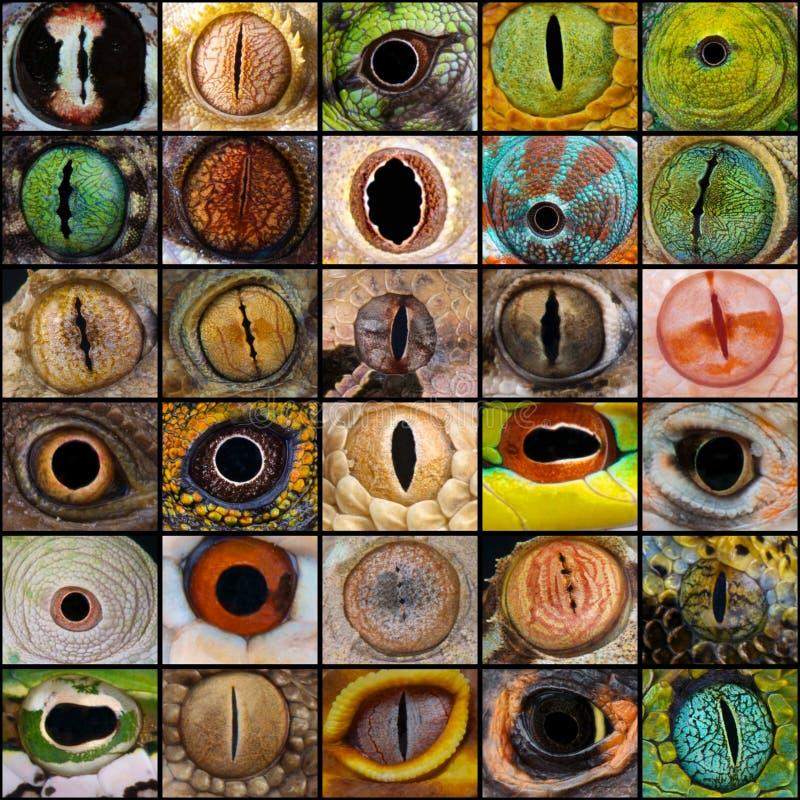 Reptilen synar collage arkivbilder