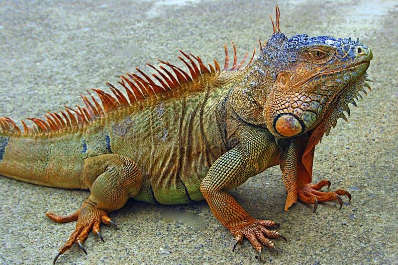 Reptiles - iguane image stock
