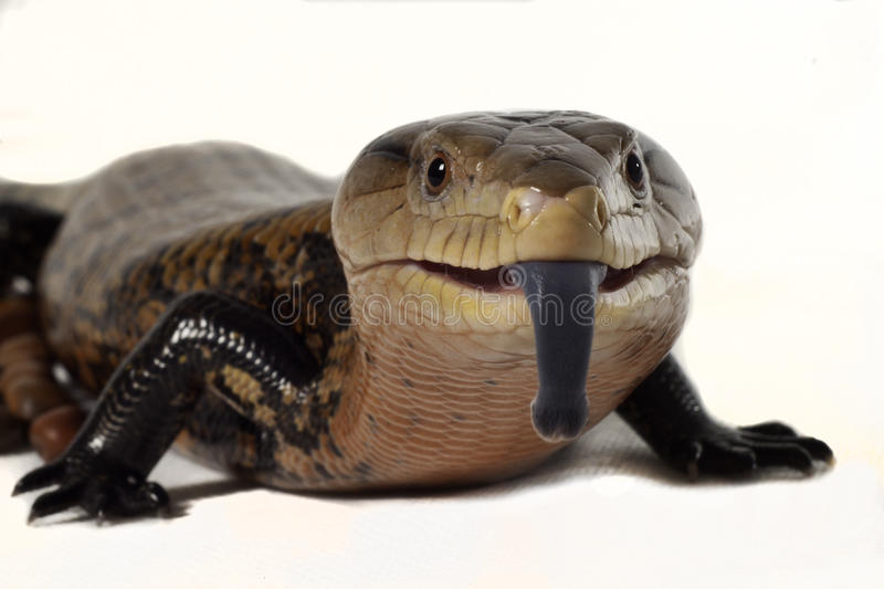 Download Reptiles Sticking Out Her Tongue. Stock Photo - Image: 26348544