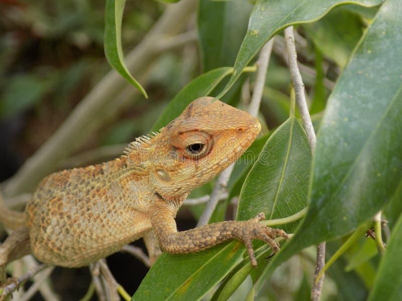 Reptilia foto de archivo libre de regalías
