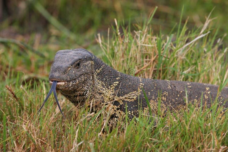 reptilian ящерицы плена большой очень стоковые фото
