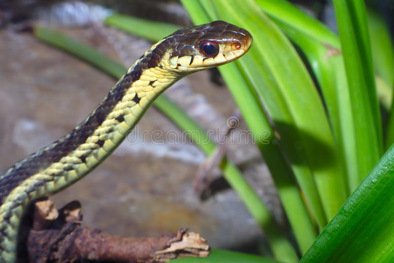 reptilian animal da natureza do ambiente da serpente do réptil da Grama-serpente fotos de stock royalty free