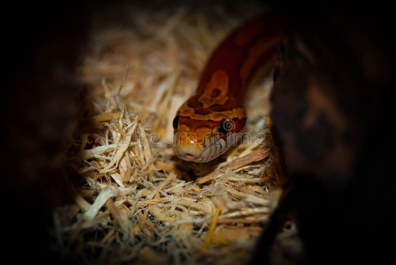 Reptilian Nieuwsgierigheid royalty-vrije stock foto's