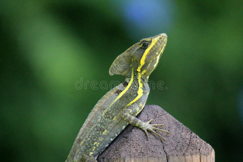 Reptilian portret stock fotografie
