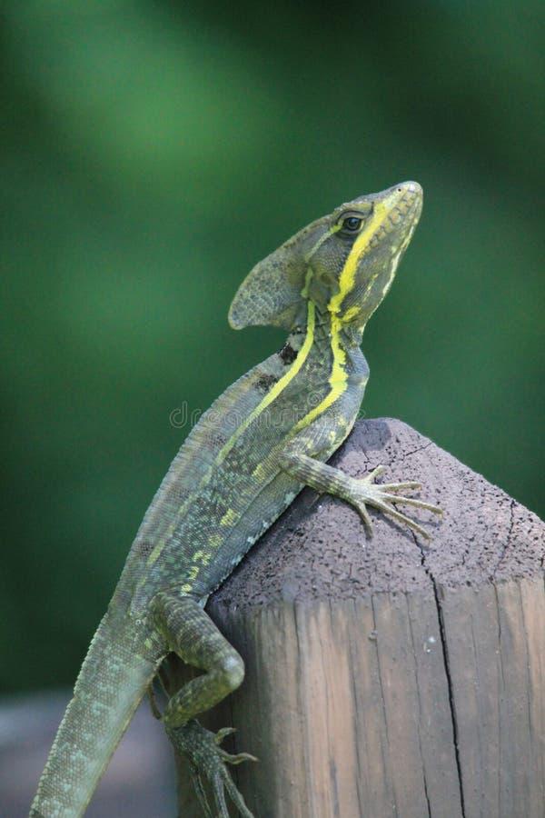Reptilian portret royalty-vrije stock foto