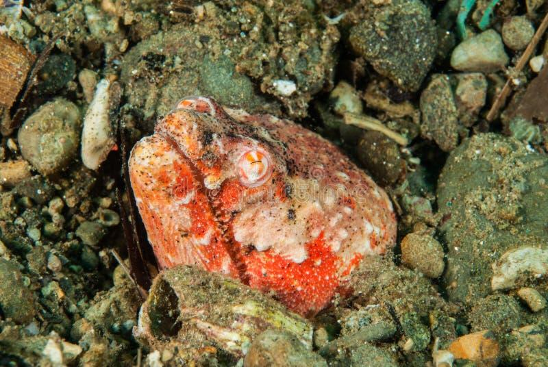 Reptilian slangpaling in Ambon, Maluku, de onderwaterfoto van Indonesië royalty-vrije stock foto