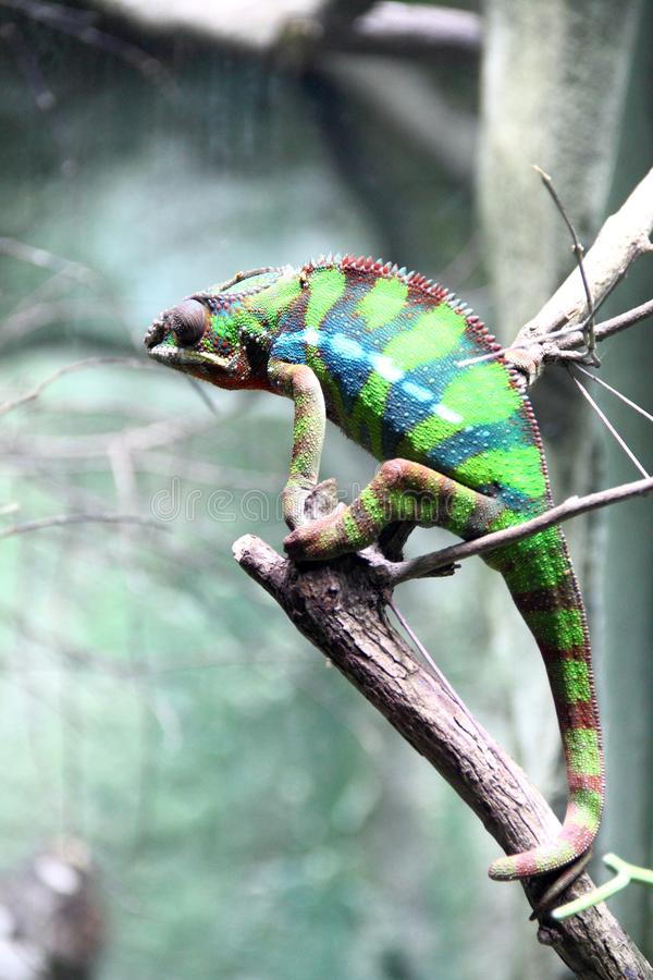 Colorful chameleon stands on the branch stock photos