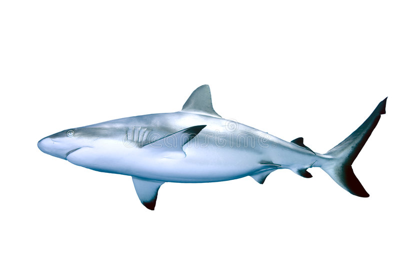 Requin image stock