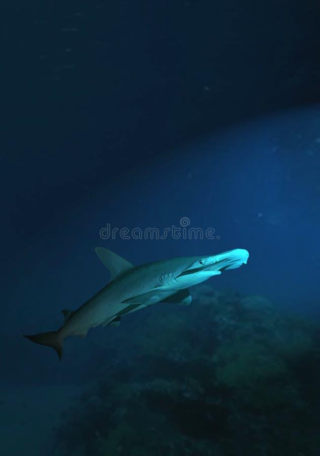 requin photo stock