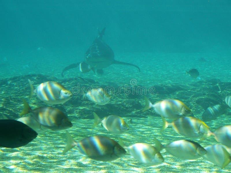 Requin apparaissant indistinctement dans les shallows photo libre de droits