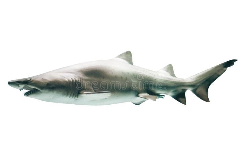 Requin blanc grand photo stock